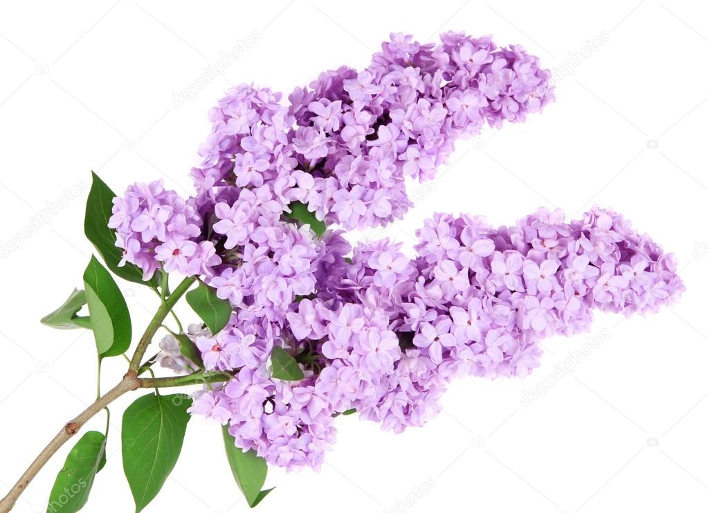 /Files/image/depositphotos_29620503-stock-photo-beautiful-lilac-flowers-isolated-on.jpg